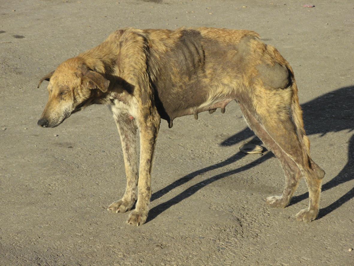 dog with rabies - HD1024×768